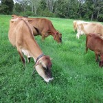 Old Ford farm cows grazing