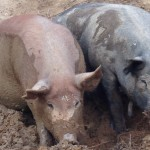 pigs at four legs farm